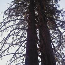 Jeffry Pines at Taylor Creek